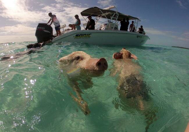 The Swimming Pigs of the Bahamas!