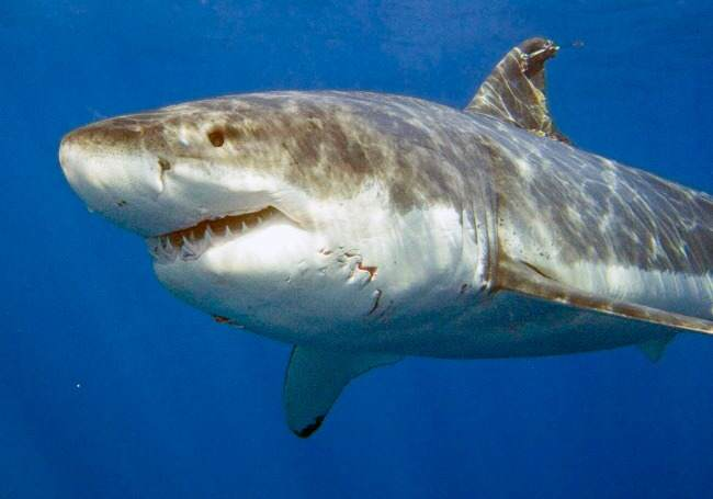 great white shark, diving, photography, underwater photography, swimming with sharks, shark attack, midlife, midlife women