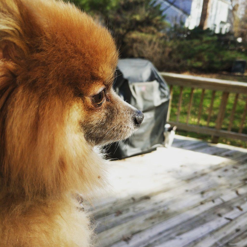 Teacup Pomeranian in spring