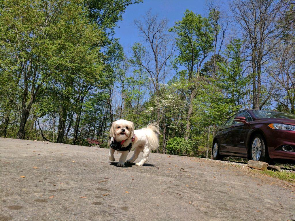Shih tzu dog in the spring.