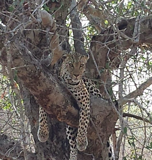 Leopard found during wildlife safaria game drive.