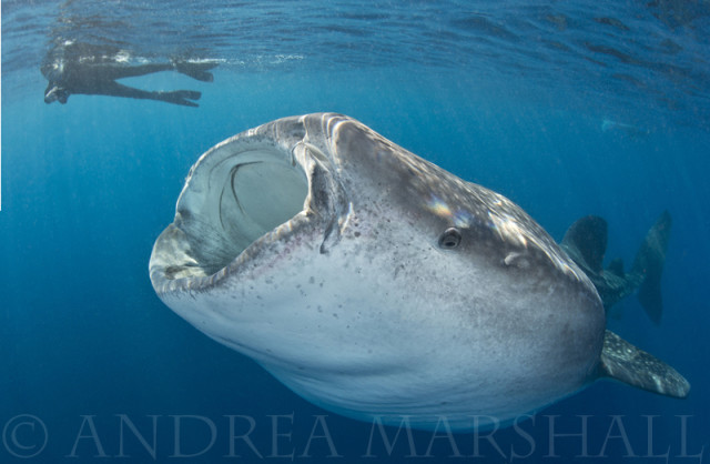 am Warner Minton and a whale shark