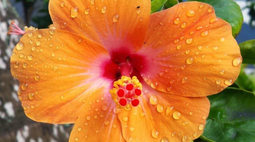 orange hibiscu in honolulu, Hawaii