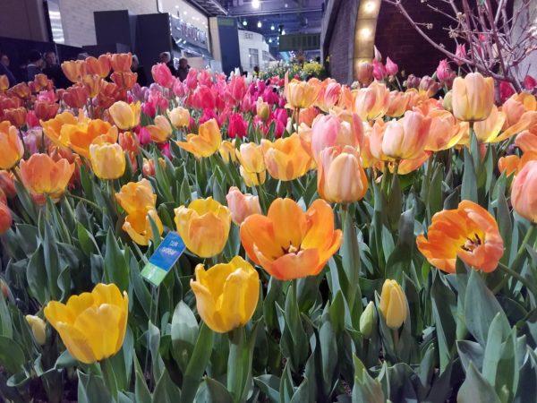 Tulips at Philadelphia Flower Show
